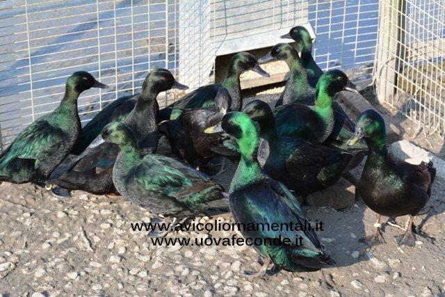 Smeraldo nera
